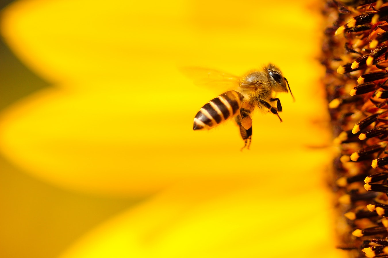 Bee approaching a flower