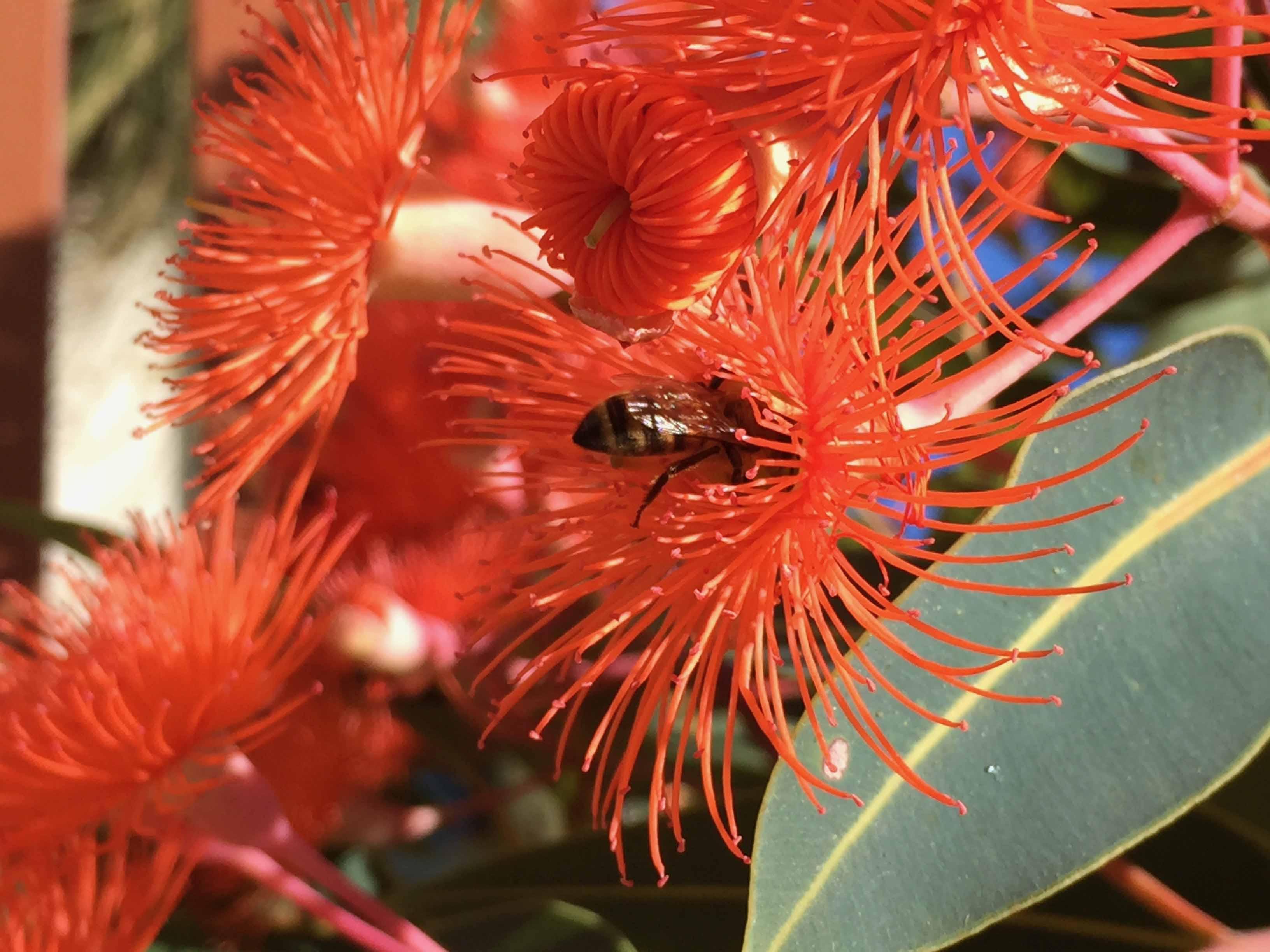 Honey bee on eucalyptus flower