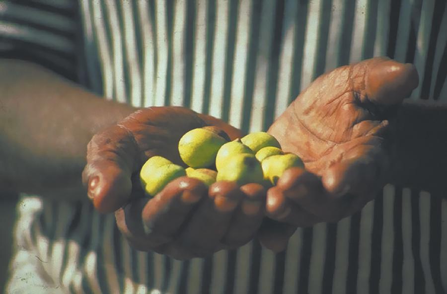 Kakadu Plum in hands