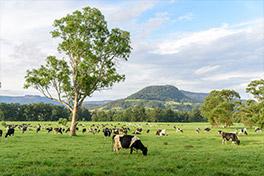 Australian cattle grazing in a paddock